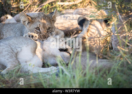 A lion cub, Panthera leo, bites its mothers neck, who is resting in the grass in Madikwe Game Reserve, North West Province, South Africa. - Stock Photo