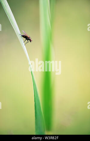 Fly sitting on grass. Very shallow depth of field. Focus on fly. - Stock Photo