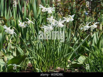 White Daffodils in Spring. - Stock Photo