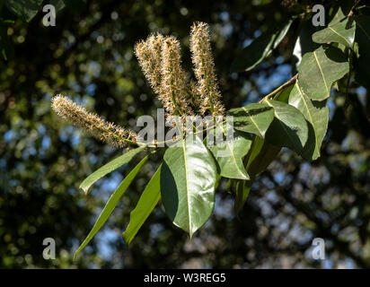 English Laurel or Cherry Laurel is a shrub / tree ( Prunus laurocerasus ) , shown in bloom. Poisonous plant if eaten, poss. fatal respiratory issues. - Stock Photo