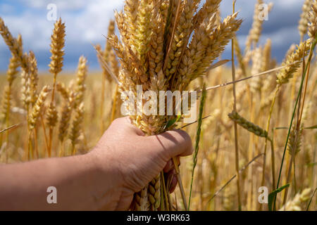 Man grasping a handful of ripe ears of golden wheat holding it in front of a wheat field ready to be harvested as a foodstuff, livestock feed or biofu - Stock Photo