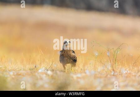 BLACK KITE (Milvus migrans), Campanarios de Azaba Biological Reserve, Salamanca, Castilla y Leon, Spain, Europe - Stock Photo