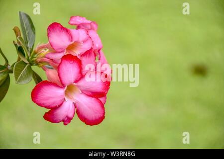 Closeup Azalea flowers on blur background, Beautiful of pink Azalea flowers in garden - Stock Photo