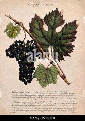 Grape vine (Vitis vinifera L.) with black grapes. Coloured lithograph after J. Polydore. - Stock Photo
