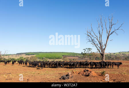 Cattle Angus and Wagyu on farm pasture with trees in the background on beautiful summer day. - Stock Photo