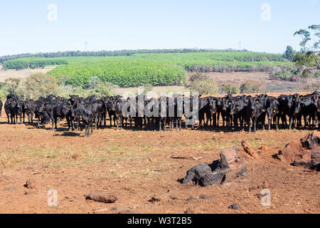 Cattle Angus and Wagyu on farm pasture with plowing in the background on beautiful summer day. Brazil is one of the largest meat exporters. - Stock Photo