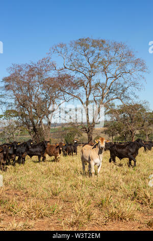 Cattle Angus and Wagyu on farm pasture with trees in the background on beautiful summer day. Brazil is one of the largest meat exporters. - Stock Photo