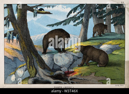 North America  Three grizzly-bears in a forest next to a carcass. Coloured lithograph. - Stock Photo