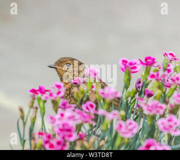 A fledgling robin (UK) perched on a flower pot in an English garden. - Stock Photo