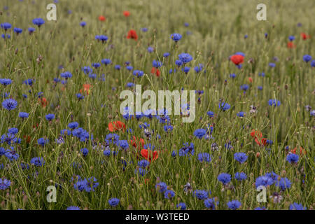 A field of wheat mixed with blooming  cornflowers and poppies, Denmark, June 10, 2019 - Stock Photo