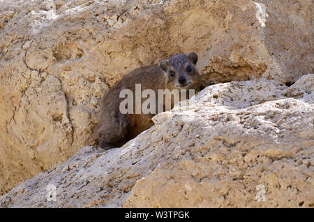 rock hyrax relaxing in a shady spot on a rock watching hikers passing by on the lower Nachal David trail to the waterfall, En Gedi National Park - Stock Photo
