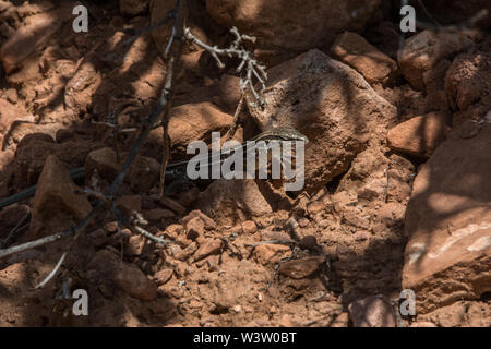 Plateau Striped Whiptail (Aspidoscelis velox) from Mesa County, Colorado, USA. - Stock Photo