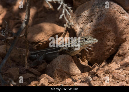 Plateau Striped Whiptail (Aspidoscelis velox) from Mesa County, Colorado, USA. - Stock Photo
