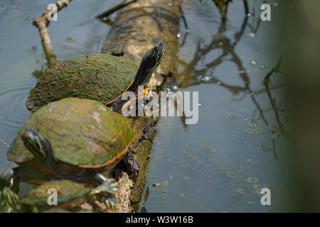 Painted Turtles on log basking in the sun - Stock Photo