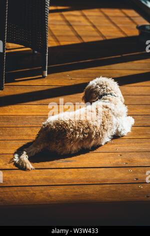 Cavoodle lays on timber decking enjoying the morning sun. - Stock Photo