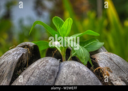 This unique picture shows how a new young plant grows out of an old coconut. This photo was taken in the Maldives - Stock Photo