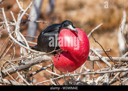 Frigatebird on Galapagos islands. Magnificent Frigate-bird on North Seymour Island, The Galapagos Islands. Male frigate bird with inflated red neck gular pouch (thoat sac) attracting females. - Stock Photo