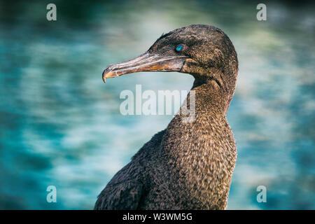 Flightless cormorant aka Galapagos cormorants - animals and wildlife of Galapagos by sea on Fernandina island, Espinoza Point, Galapagos Islands. - Stock Photo