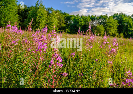Blooming plant Ivan tea or blooming Sally in a clearing near the forest. Sunny summer morning. - Stock Photo