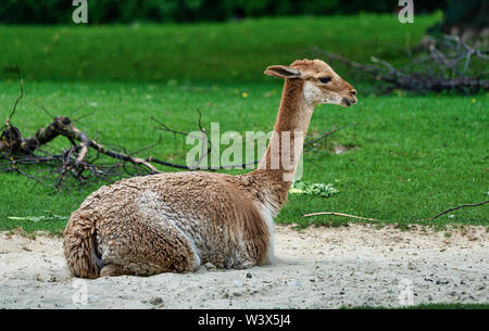 Vicunas, Vicugna Vicugna, relatives of the llama which live in the high alpine areas of the Andes - Stock Photo