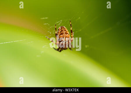 Araneus diadematus, European garden spider, diadem spider, Cross orbweaver, orb-weaver. United Kingdom - Stock Photo