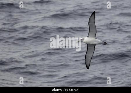 A shy albatross, Thalassarche cauta, soars over waves on the South Atlantic Ocean. - Stock Photo