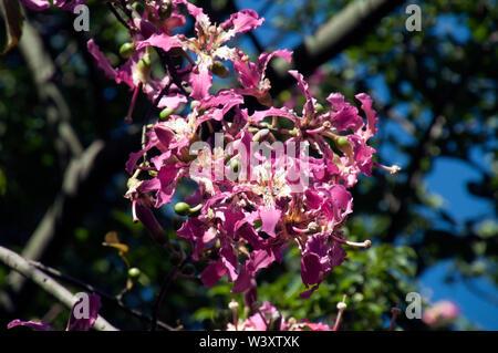 Sydney Australia, flower head of a ceiba speciosa or floss silk tree in the sunshine - Stock Photo