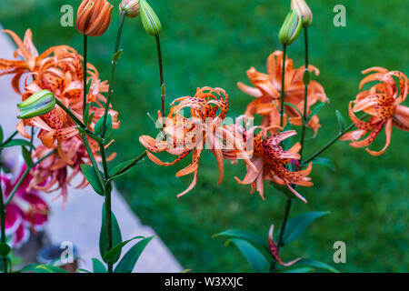 several Tiger Lilies blooming next to the Stargazer lilies in the Orange garden - Stock Photo