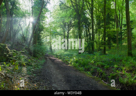 Morning sunlight filters through trees in a misty woodland at Rowberrow Warren in the Mendip Hills, Somerset, England. - Stock Photo