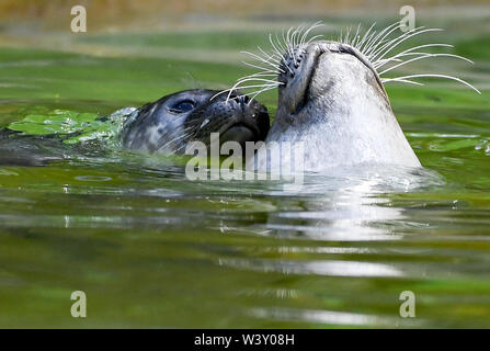 Berlin, Germany. 18th July, 2019. A seal puppy plays with his mother at the Berlin Zoo. Two kittens were born on 8. and 10.07.2019. Credit: Britta Pedersen/dpa-Zentralbild/dpa/Alamy Live News - Stock Photo