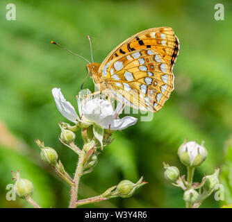 High brown fritillary Argynnis adippe on bramble at Heddon Valley on the North Devon coast UK showing characteristic russet ringed spots on hindwing - Stock Photo