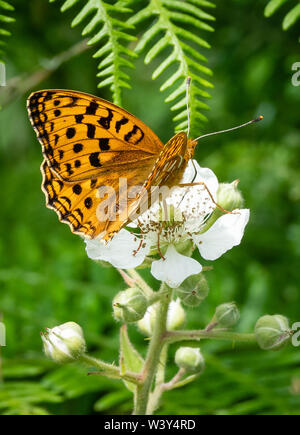 High brown fritillary Argynnis adippe female feeding on bramble at Heddon Valley on the North Devon coast UK - Stock Photo