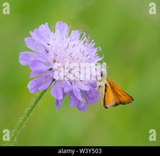 Small skipper butterfly Thymelicus sylvestris feeding on field scabious in a flowery meadow in Wiltshire UK - Stock Photo