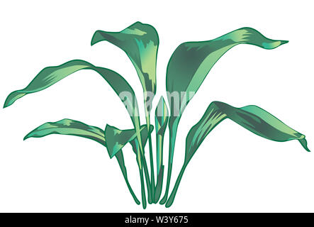 illustration of a Cast Iron Plant.  Aspidistra elatior, or bar-room plant, also known in Japanese as haran or baran - Stock Photo