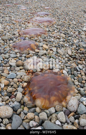 Lion's Mane jellyfish washed up onto the beach on the Isle of Arran in Scotland - Stock Photo