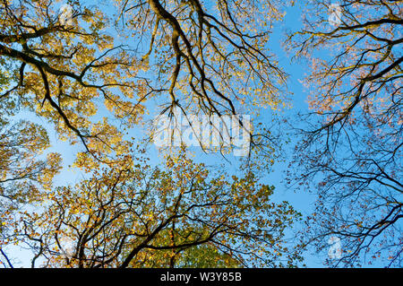 Vertical shot of treetops in bright sunshine and a bright blue sky in Endcliffe Park, Sheffield - Stock Photo