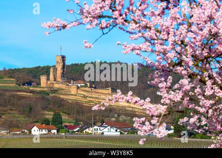 Flourishing almond trees with castle ruin Burg Wachenheim, Wachenheim, Rhineland-Palatinate, Germany - Stock Photo