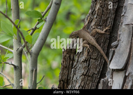 Plateau Fence Lizard (Sceloporus tristichus) from Mesa County, Colorado, USA. - Stock Photo