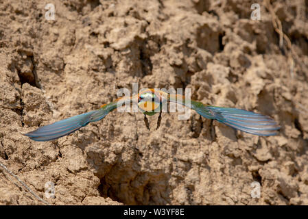 European bee-eater or Merops Apiaster in natural habitat. - Stock Photo