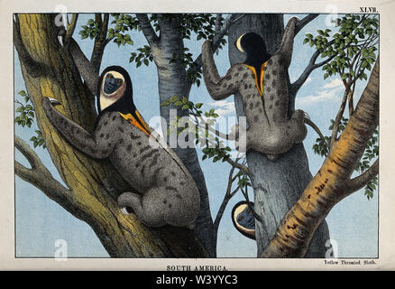 South America  Three yellow throated sloths clambering up a tree. Coloured lithograph. - Stock Photo