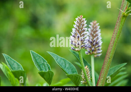 close-up of pale blue inflorescence and pinnate leaves of a licorice shrub - Stock Photo