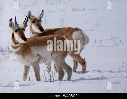 Two Pronghorn Antelope, a buck and a doe, standing in deep snow. - Stock Photo