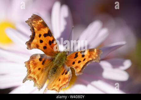 A Satyr comma, an Anglewing butterfly get nectar from a flower. - Stock Photo