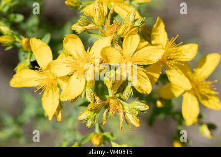 Nuremberg, Germany. 19th June, 2019. St. John's wort (Hypericum spec.) blooms at the edge of the Reichswald. Credit: Daniel Karmann/dpa/Alamy Live News - Stock Photo