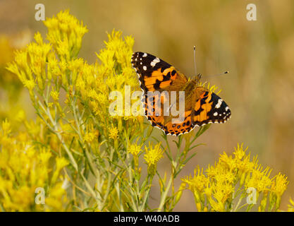 Beautiful Monarch Butterfly on Bright Yellow Flowers - Stock Photo