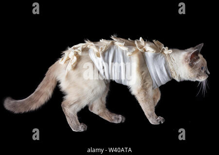Thai cat in a postoperative bandage on a black background. - Stock Photo