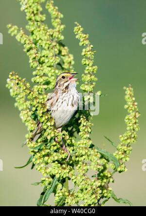 Savannah sparrow, Passerculus sandwichensis, perched on plant, singing, Nova Scotia, Canada - Stock Photo