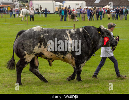Belgian Blue bull showing at a country fair, Skibbereen Ireland - Stock Photo