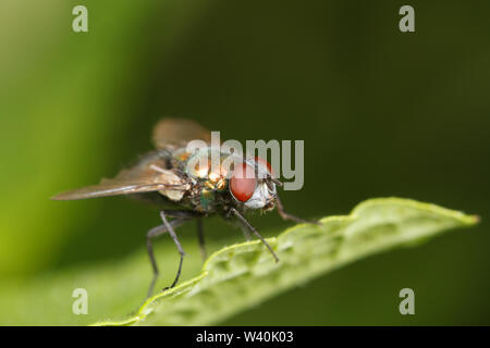 A green bottle fly on the edge of a leaf. - Stock Photo
