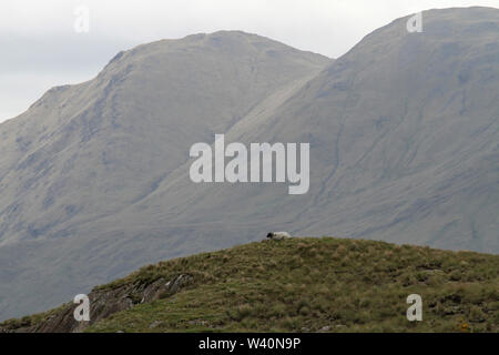 A sheep lying grazing in rough pasture on top of a hill in the west of Ireland with the Sheeffry Hills in the background. - Stock Photo